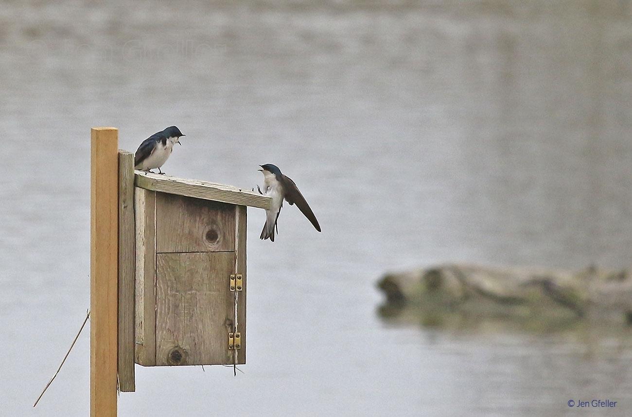 Tree Swallows – Pair 2