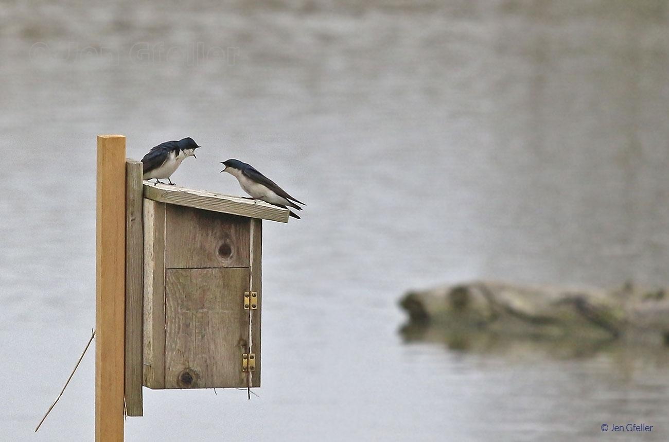 Tree Swallows – Pair 3