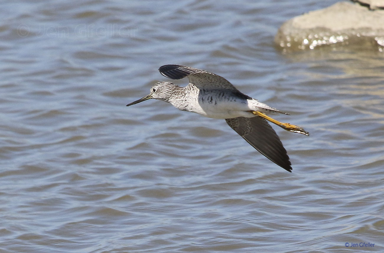 Lesser Yellowlegs – in flight