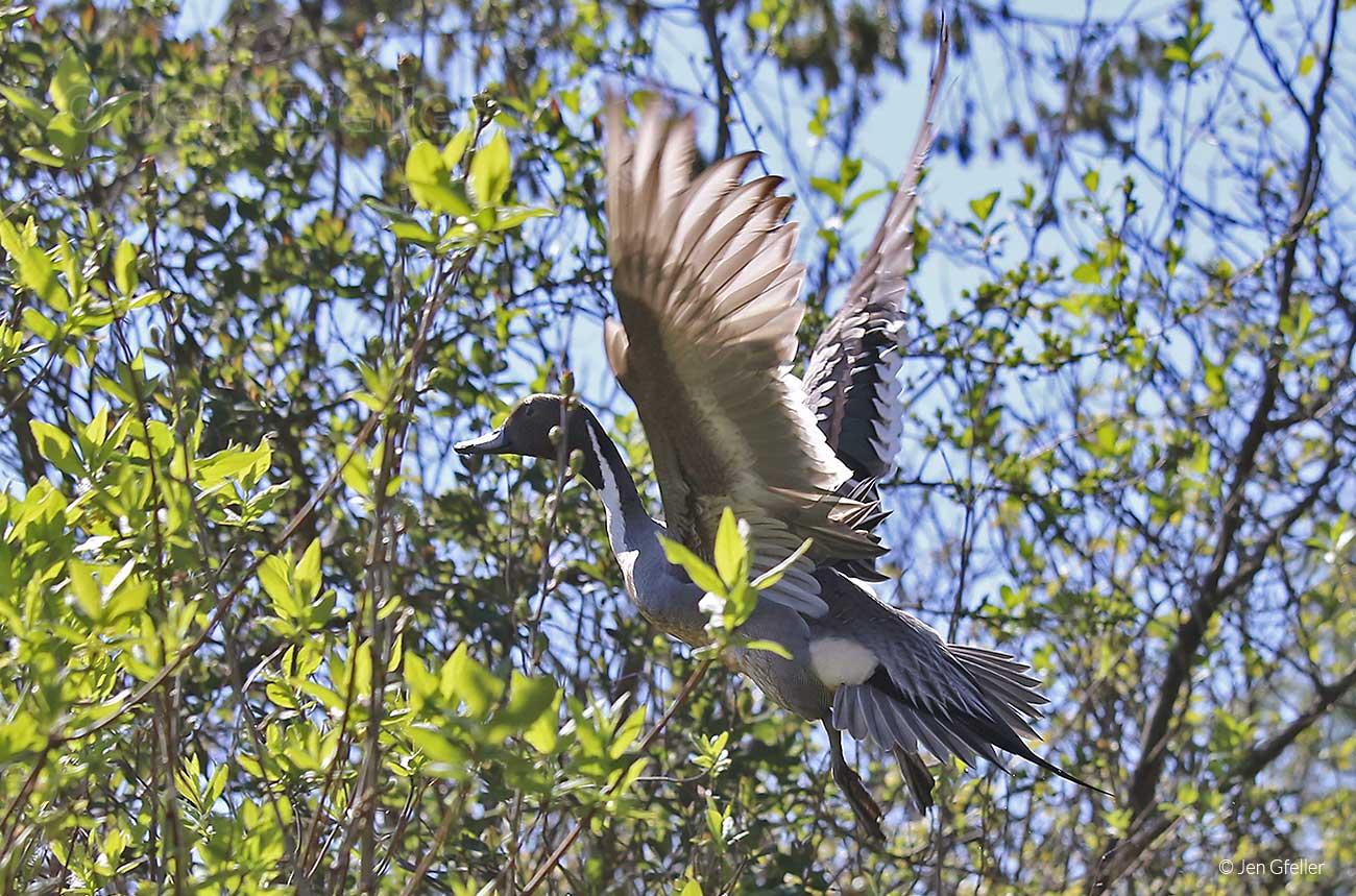 Pintail taking flight