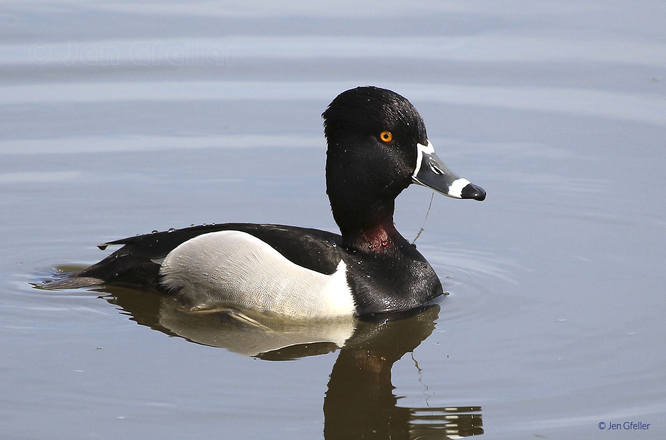 Ring-necked Duck, male breeding plumage