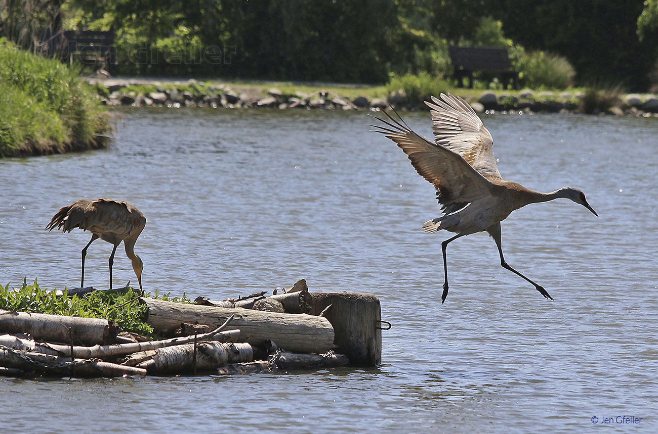 Sandhill Cranes – shift change