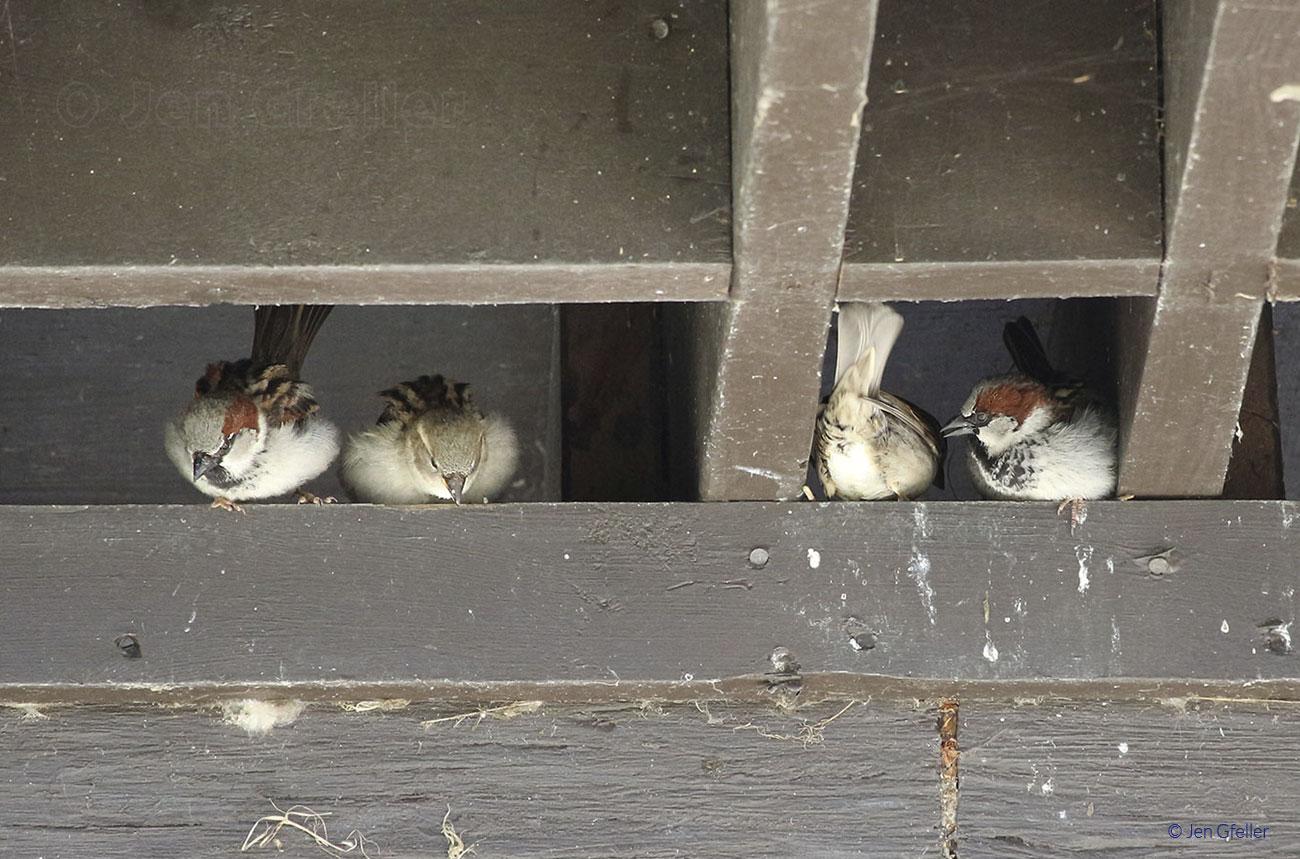 House Sparrows – condo living