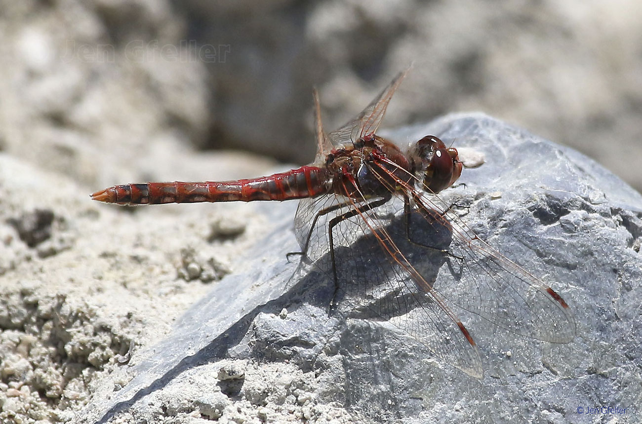 Red Dragonfly (species uncertain)